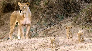 Download Newborn Lion Cubs Are Introduced to Their Cousins Video