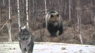 Download Hungry Bear VS Dog Video