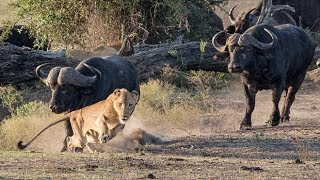 Download WATCH LION vs BUFFALO REAL FIGHTS BUFFALO ATTACK LION Video