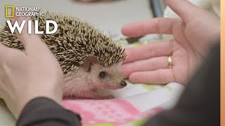 Download A Hedgehog with Abscessed Teeth | Dr. T, Lone Star Vet Video