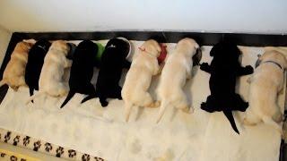 Download Karmienie labradorów ( feeding labradors ) Video