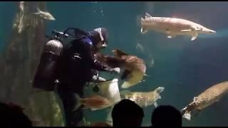 Download Arapaima Aquaria KLCC Feeding Time Video