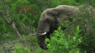 Download WildEarth - Sunset Safari - January 14, 2020 Video