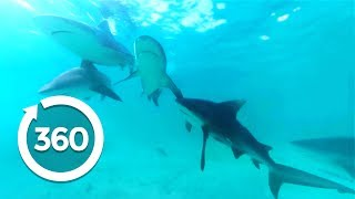 Download The Majesty of Sharks (360 Video) Video
