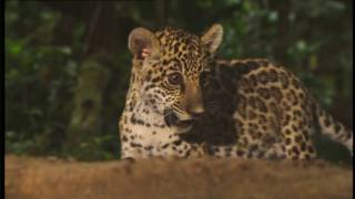 Download Conflicts of Nature : Conflicts in the Jungle (Wildlife Documentary) Video
