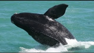 Download Hermanus Whale Watching trip with a southern right whale breaching Video