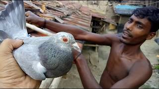 Download MADRASI PIGEONS FLYING IN SUMMER MORNING / গরমকালের কবুতর (পায়রা ) উড়ানো দেখুন Video