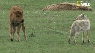 Download Jeu dangereux entre un bébé bison et un coyote Video