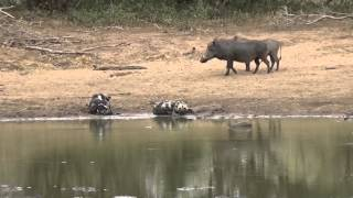 Download Warthogs taking a chance with wild dogs Video