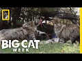Download Watch Cats Jump in Slow Motion | Big Cat Week Video