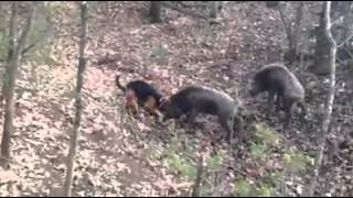 Download Hunting dog vs Wild boar Video
