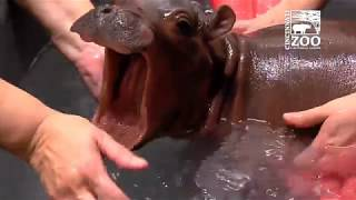 Download Baby Hippo Fiona - Episode 2 The Struggle - Cincinnati Zoo Video