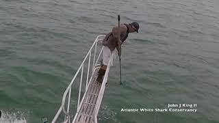 Download White shark surprise breach off Wellfleet, MA (7/30/18) Video