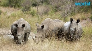 Download Rangers Protect Three of the Last Remaining Northern White Rhinos in the World Video