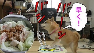 Download 柴犬小春 【しつけ崩壊!?】納豆1パックなら瞬殺可能!納豆とささみと茹でキャベツasmr、音フェチ、飯テロShiba eats Natto and Chicken Tender Video