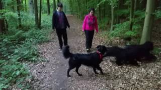 Download Fun Times! - Portuguese Water Dogs / Portugisische Wasserhunde Video