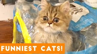 Download Try Not to Laugh Ultimate Cat and Kitten Compilation | Funny Pet Videos Video