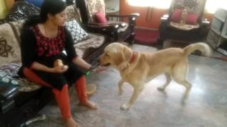 Download Labrador dog training ,Tarikere, Chikamagalur, karnataka Video