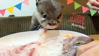 Download カワウソ コタロー 誕生日おめでとう!鯛の姿造りと刺身盛に大興奮!! Kotaro the Otter Happy 1st Birthday! Video