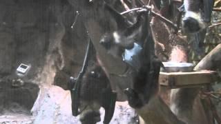 Download オリイオオコウモリ(上野動物園):Ryukyu Flying Fox (Ueno Zoo) Video