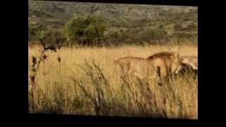 Download Lions Battle - Lions Protecting Mother Video