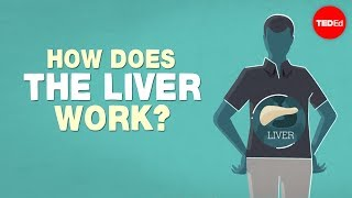 Download What does the liver do? - Emma Bryce Video