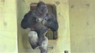 Download シャバーニ ドラミング50連 Gorilla drumming50beat Best Shabani Video