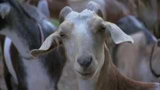 Download North Carolina Goat Farm - America's Heartland Video