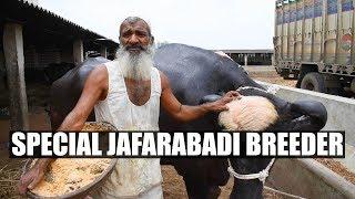 Download Special jafarabadi buffalo breeder of Gujarat Video