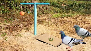 Download Easy Bird Trap Using Blue Pipe Cardboard and a Apple Fruit Video