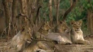 Download ABP News special: 8 lions die in UP's Lion Safari Video