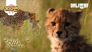 Download 그렇게 엄마 치타는 새끼에게 마지막 인사를 합니다.. ㅣ For Her Injured Cub, Mother Cheetah Decides To.. Video