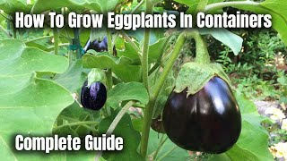 Download How To Grow Eggplants In Containers - The Complete Guide To Growing Eggplants Video