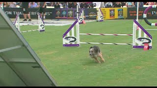 Download Small Dog Agility Competition - 2016 Purina® Pro Plan® Incredible Dog Challenge® Western Regionals Video