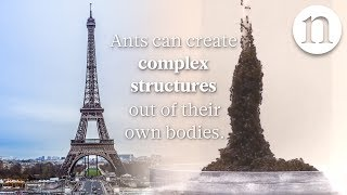 Download Ant architecture: The simple rules of ant construction Video
