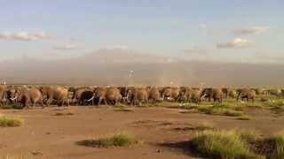 Download Massive herd of elephant with Kilimanjaro backdrop - Amboselli National Park - Kenya Video