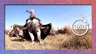 Download Vultures Feed on Wildebeest | Wildlife in 360 VR Video