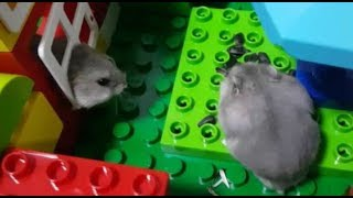Download Hamster Lego Obstacle Course maze cute baby [倉鼠迷宮] Video