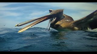 Download Pelicans Diving - Slow Mo! Video