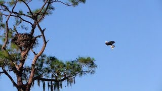 Download SWFL Eagles H Grabs Prey In The Air, Mating, M Adds Sticks/Grasses 10-16-18 Video