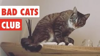 Download Bad Cats Club | Funny Cat Video Compilation 2017 Video