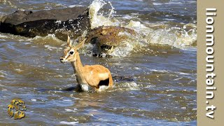 Download Crocodiles Catch whole herd of migrating Gazelle | CLASSIC WILDLIFE Video