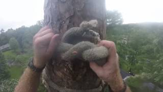 Download 115 ft pine tree removal Video