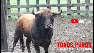 Download Desembarque Toros puros Los Hnos. Cumplido M. Procedencia Ganadería de Juan Bernardo Caicedo Video