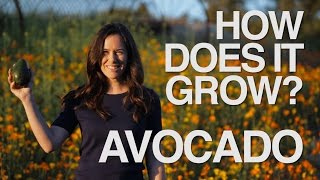 Download AVOCADO | How Does it Grow? Video