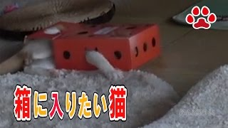 Download Maya was house sitting.Too small box and Maya 【Cat's room.Miaou】 Video