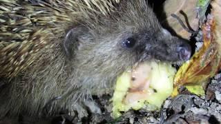 Download European hedgehog (Erinaceus europaeus) eating fruit Video