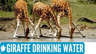 Download GIRAFFE DRINKING WATER | Amazing wildlife Video