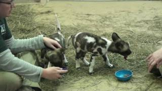 Download african wild dog pups at feeding.mp4 Video