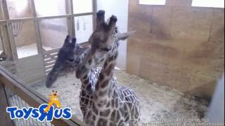 Download 13.04.2017 ~18:05. April & Olver. Giraffe tenderness Video